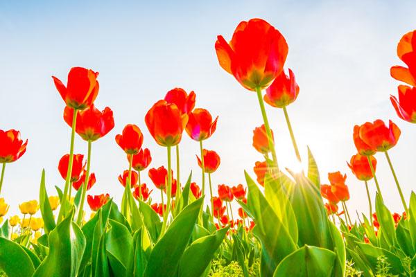 bloembollen planten in de tuin